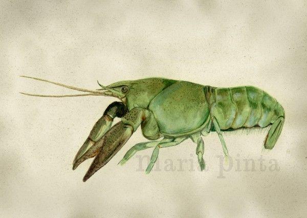 Ilustración naturalista de cangrejo de río