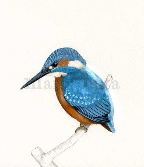 ilustracion naturalista de Martín pescador