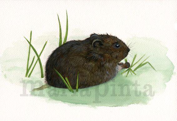 Ilustracion naturalista de rata de agua